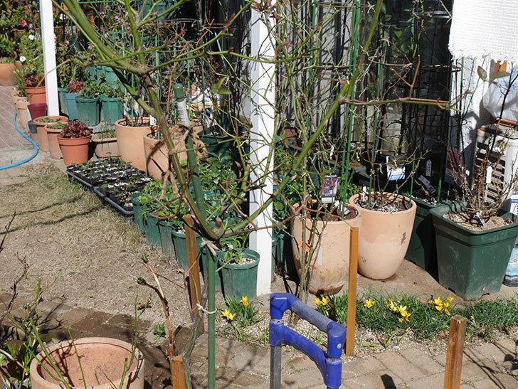 ルイフィリップ(Louis Philippe)の植え替えと冬剪定をした。木立バラ。2021年-007.jpg