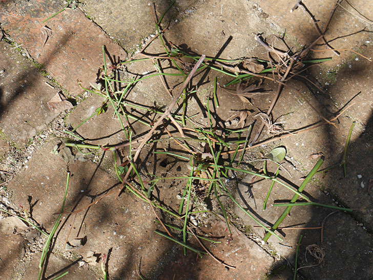 ルイフィリップ(Louis Philippe)の植え替えと冬剪定をした。木立バラ。2021年-008.jpg