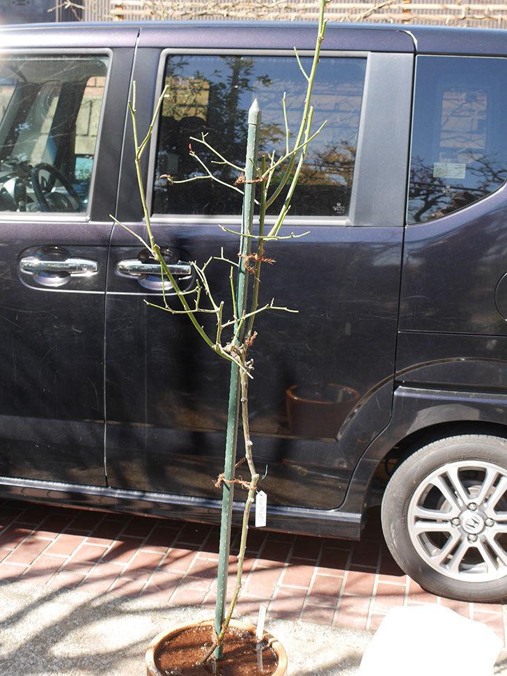 ルイフィリップ(Louis Philippe)の植え替えと冬剪定をした。木立バラ。2021年-018.jpg