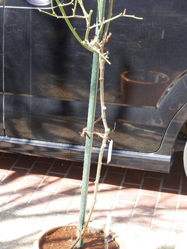 ルイフィリップ(Louis Philippe)の植え替えと冬剪定をした。木立バラ。2021年-021.jpg