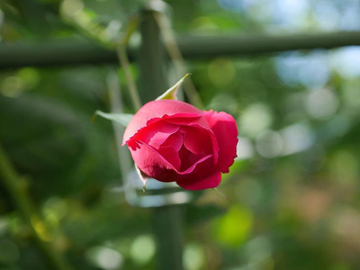 ルイフィリップ(Louis Philippe)の秋花がまた咲いた。木立バラ。2020年-002.jpg