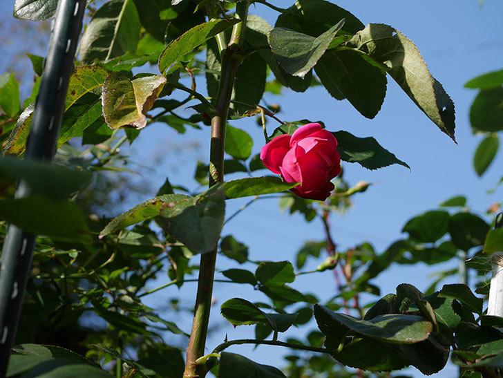 ルイフィリップ(Louis Philippe)の秋花がまた咲いた。木立バラ。2020年-007.jpg