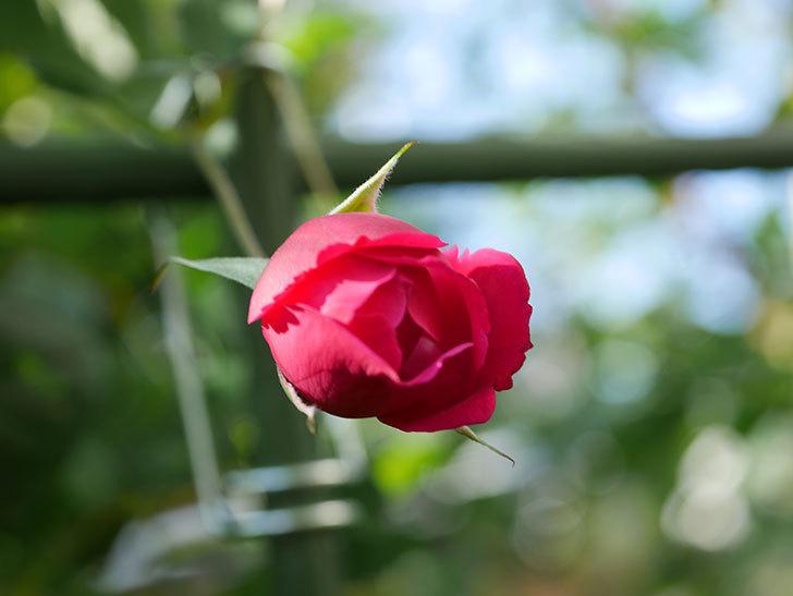 ルイフィリップ(Louis Philippe)の秋花がまた咲いた。木立バラ。2020年-008.jpg