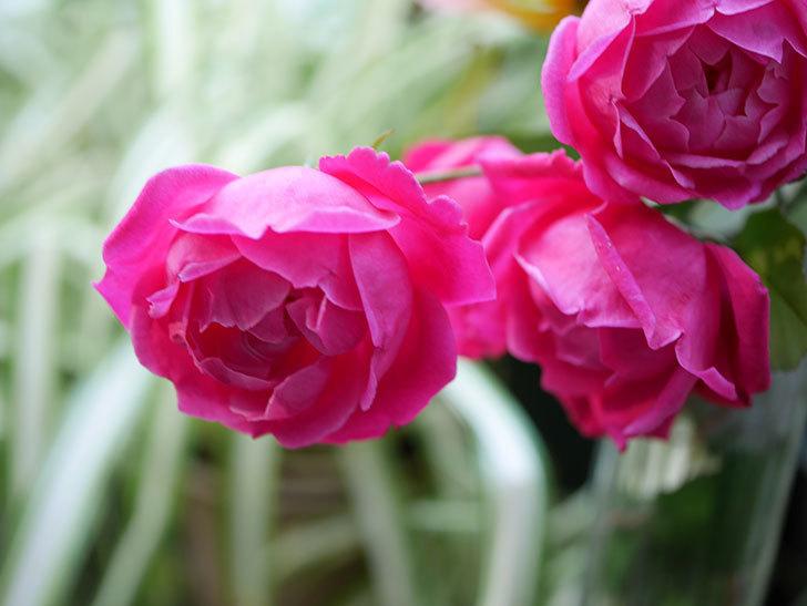 ルイフィリップ(Louis Philippe)の秋花がまた咲いた。木立バラ。2020年-009.jpg