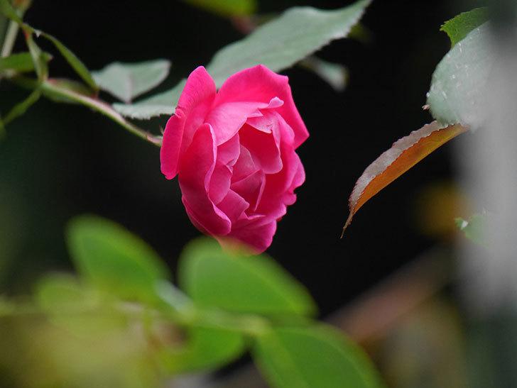 ルイフィリップ(Louis Philippe)の秋花が咲いた。木立バラ。2020年-001.jpg