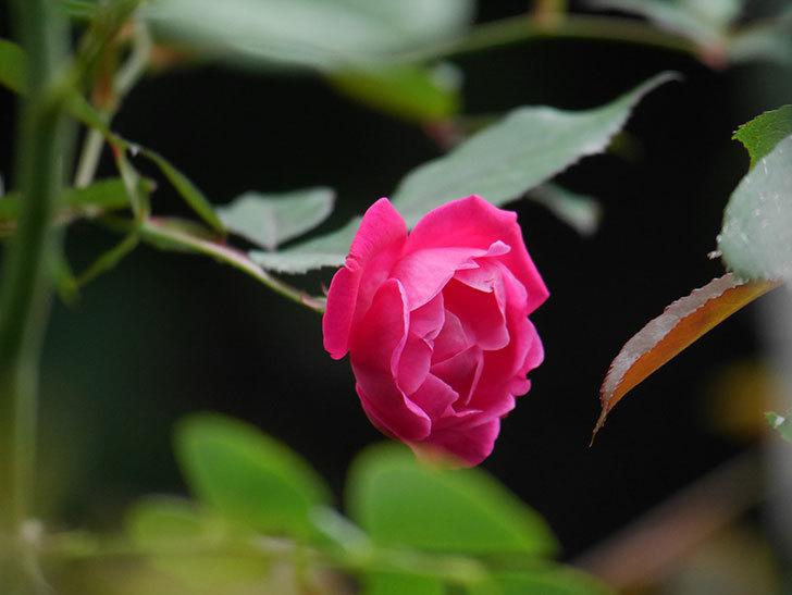 ルイフィリップ(Louis Philippe)の秋花が咲いた。木立バラ。2020年-002.jpg
