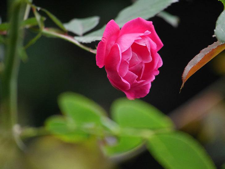 ルイフィリップ(Louis Philippe)の秋花が咲いた。木立バラ。2020年-003.jpg