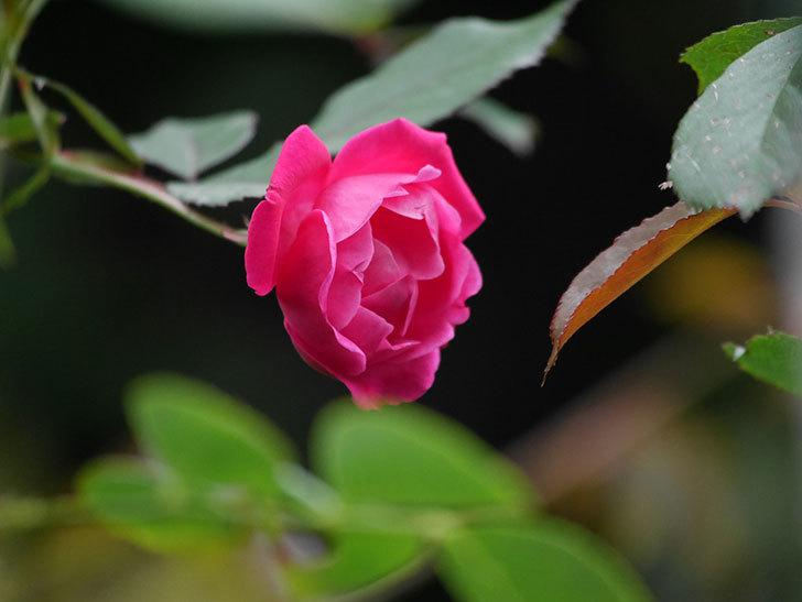 ルイフィリップ(Louis Philippe)の秋花が咲いた。木立バラ。2020年-004.jpg