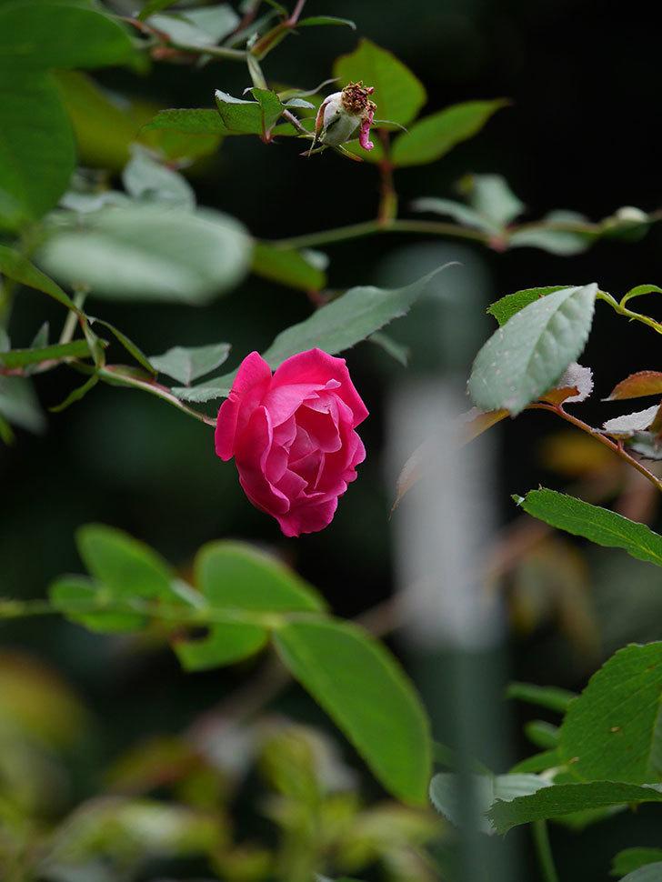 ルイフィリップ(Louis Philippe)の秋花が咲いた。木立バラ。2020年-008.jpg