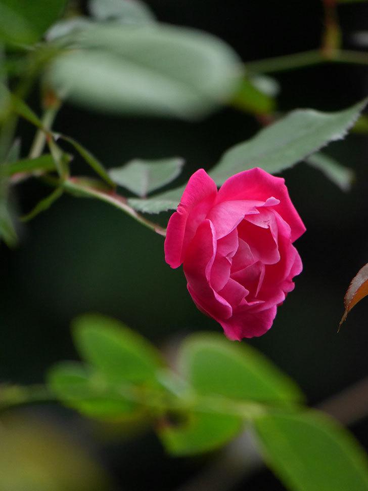 ルイフィリップ(Louis Philippe)の秋花が咲いた。木立バラ。2020年-009.jpg