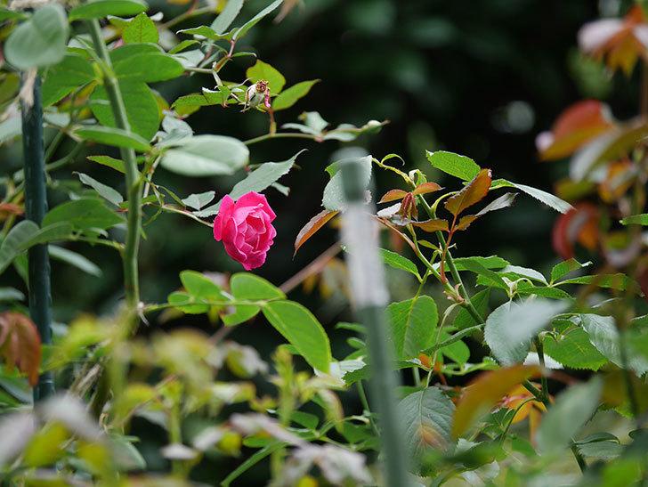 ルイフィリップ(Louis Philippe)の秋花が咲いた。木立バラ。2020年-012.jpg