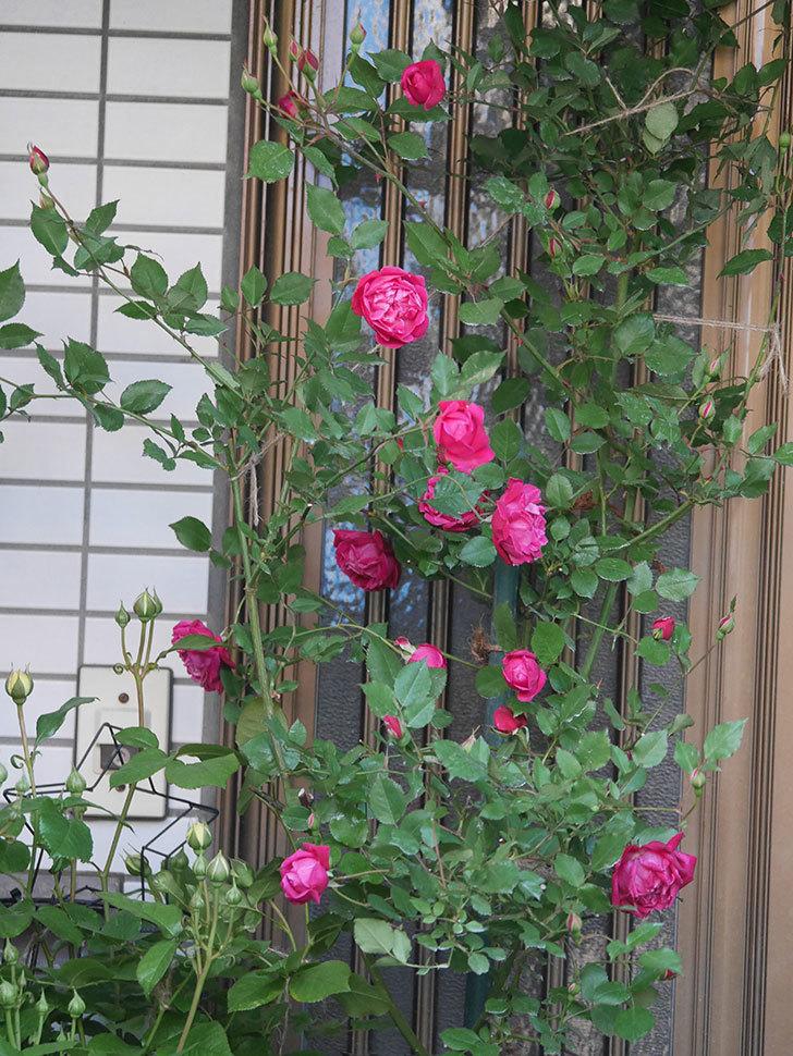 ルイフィリップ(Louis Philippe)の花がたくさん咲いた。木立バラ。2021年-018.jpg
