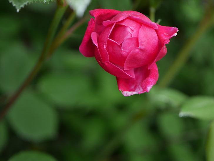 ルイフィリップ(Louis Philippe)の花が咲いた。木立バラ。2021年-001.jpg