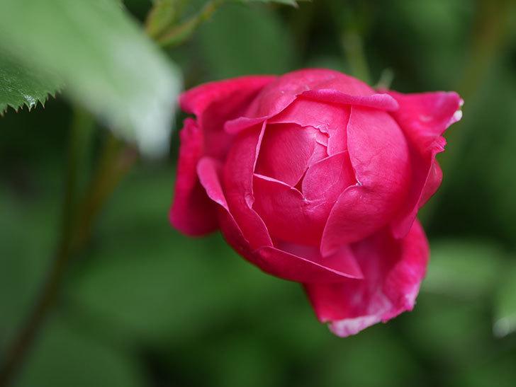 ルイフィリップ(Louis Philippe)の花が咲いた。木立バラ。2021年-004.jpg
