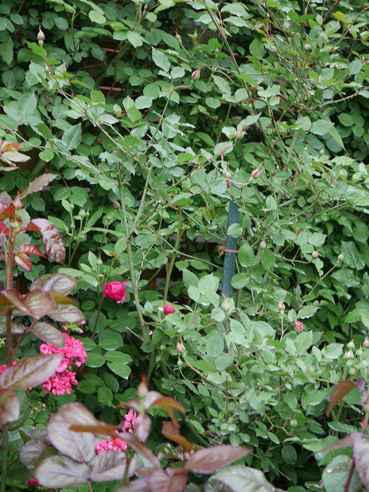 ルイフィリップ(Louis Philippe)の花が咲いた。木立バラ。2021年-006.jpg