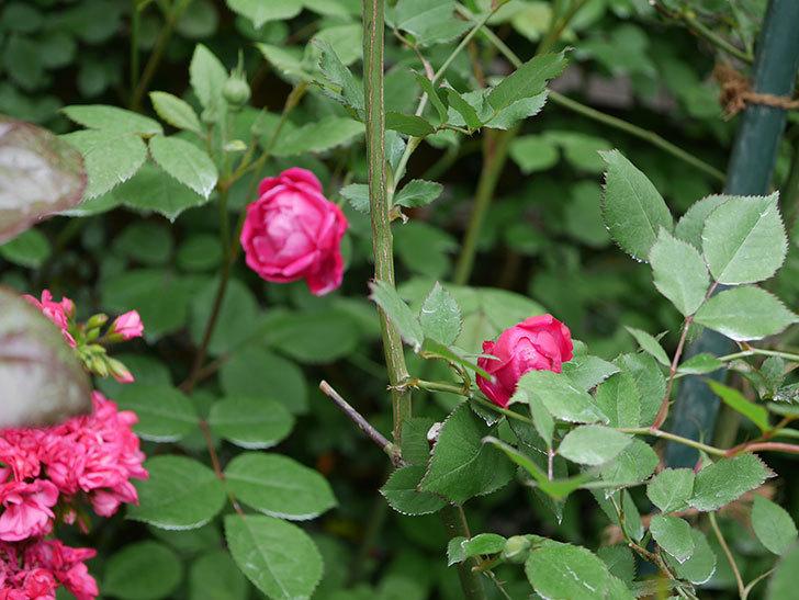 ルイフィリップ(Louis Philippe)の花が咲いた。木立バラ。2021年-007.jpg