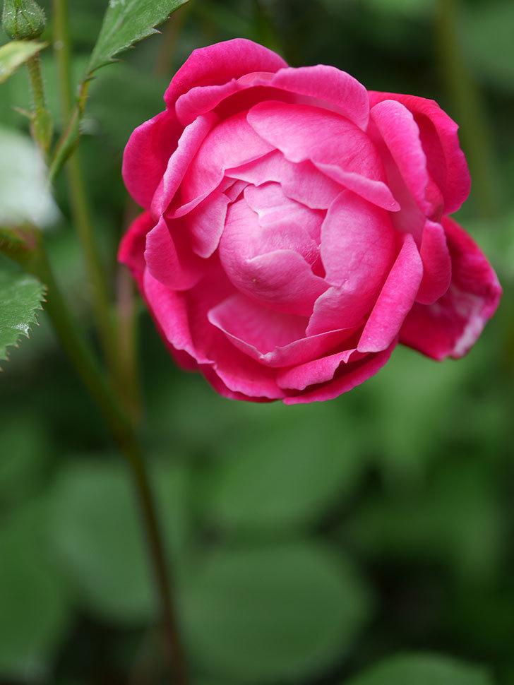 ルイフィリップ(Louis Philippe)の花が咲いた。木立バラ。2021年-009.jpg