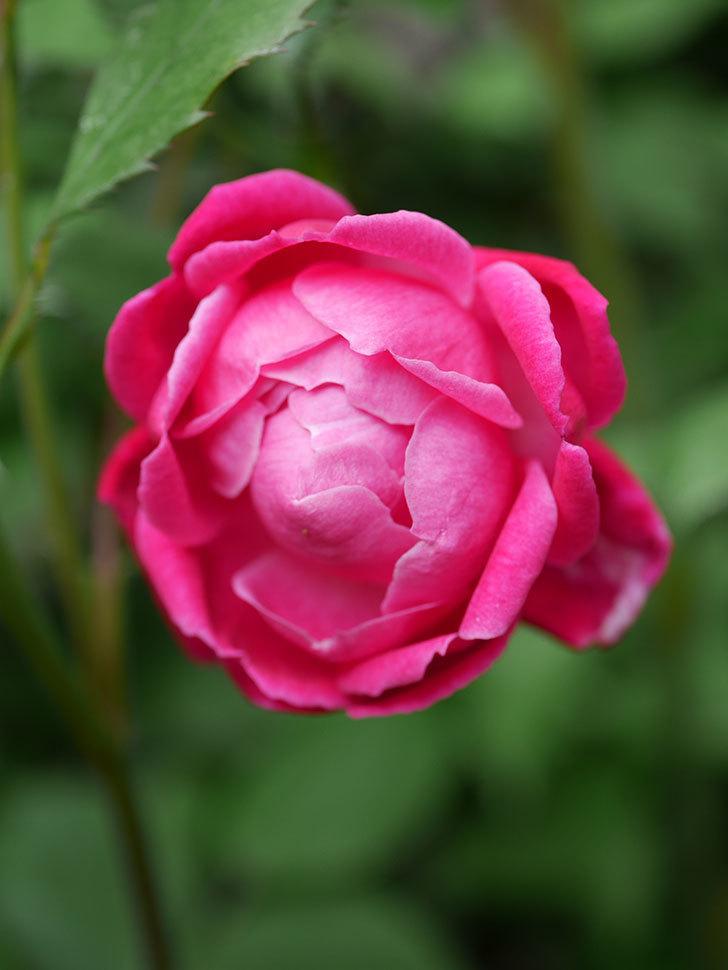 ルイフィリップ(Louis Philippe)の花が咲いた。木立バラ。2021年-010.jpg