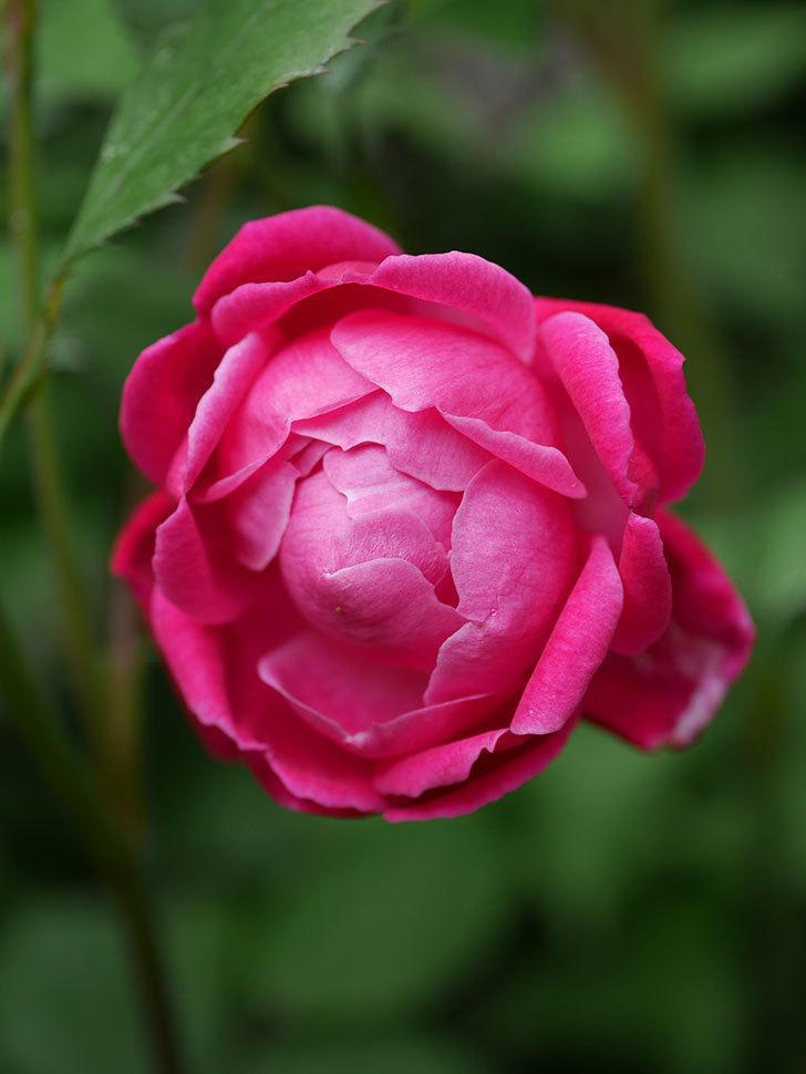 ルイフィリップ(Louis Philippe)の花が咲いた。木立バラ。2021年-011.jpg