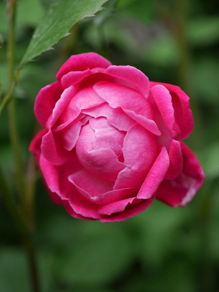 ルイフィリップ(Louis Philippe)の花が咲いた。木立バラ。2021年-012.jpg