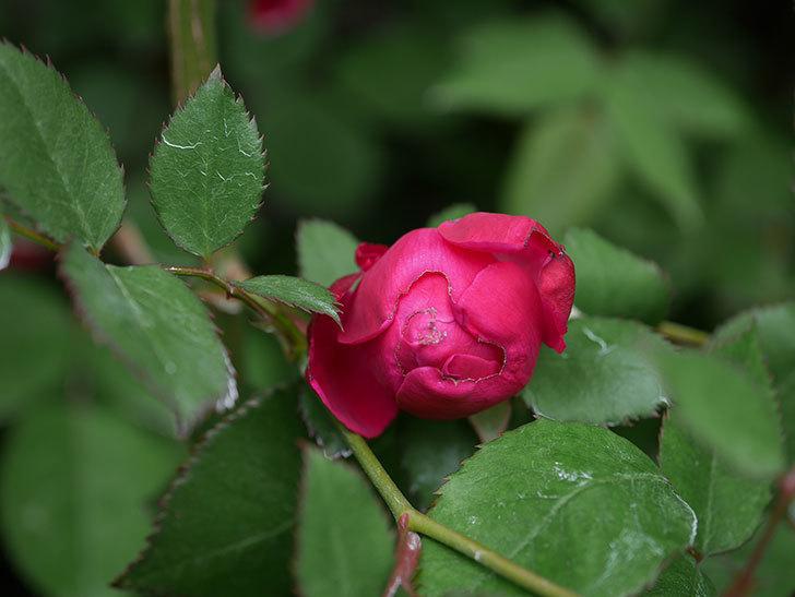 ルイフィリップ(Louis Philippe)の花が咲いた。木立バラ。2021年-014.jpg