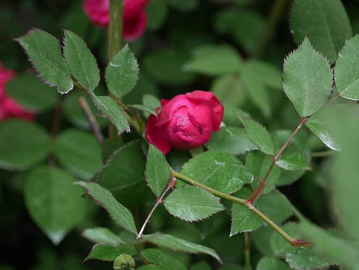 ルイフィリップ(Louis Philippe)の花が咲いた。木立バラ。2021年-015.jpg