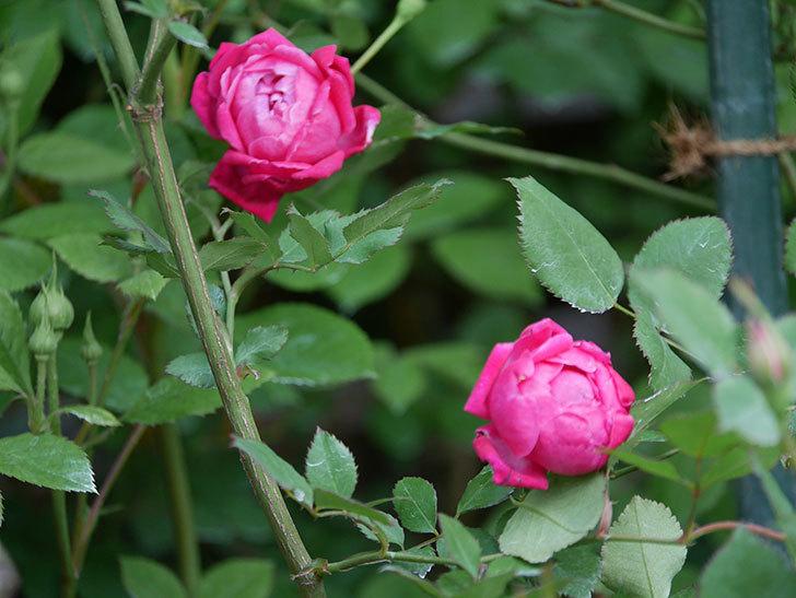 ルイフィリップ(Louis Philippe)の花が増えてきた。木立バラ。2021年-002.jpg