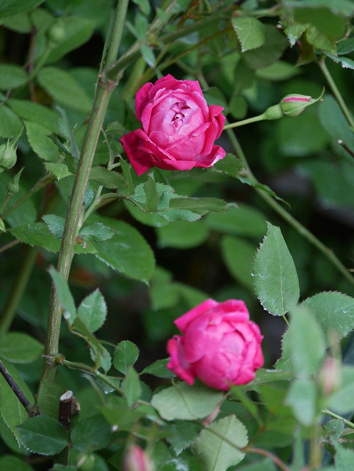 ルイフィリップ(Louis Philippe)の花が増えてきた。木立バラ。2021年-004.jpg