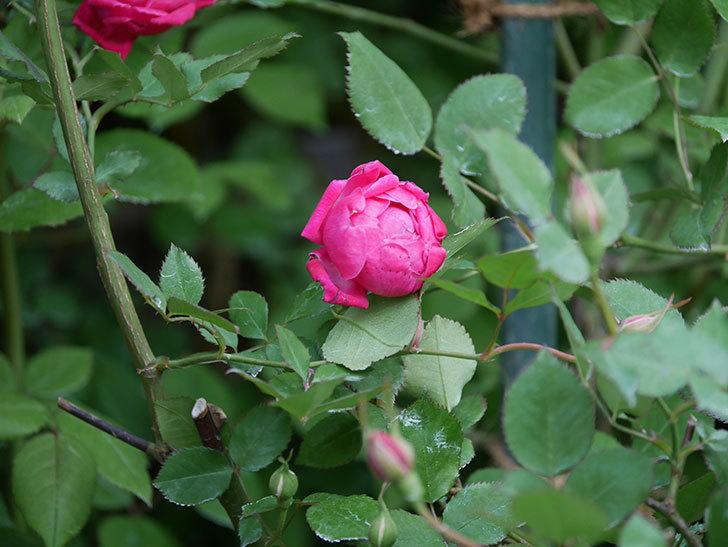 ルイフィリップ(Louis Philippe)の花が増えてきた。木立バラ。2021年-010.jpg