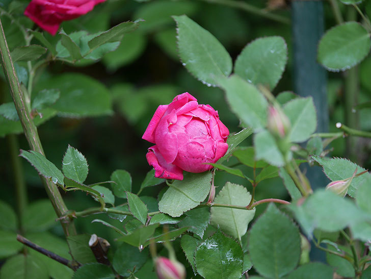 ルイフィリップ(Louis Philippe)の花が増えてきた。木立バラ。2021年-011.jpg