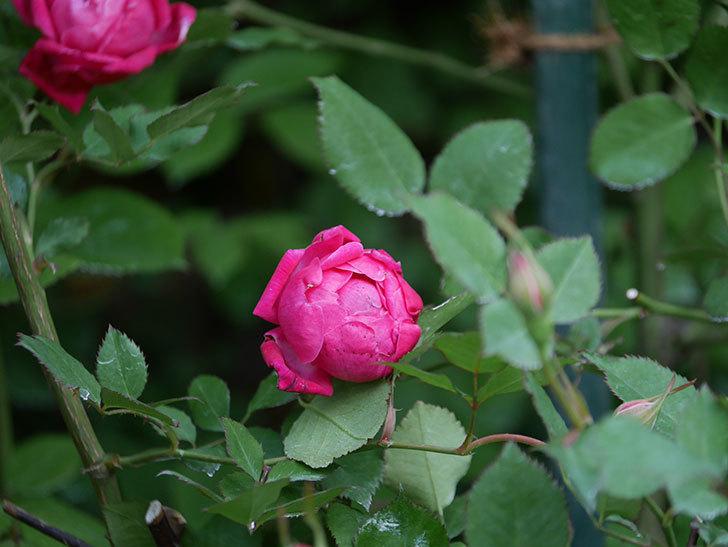 ルイフィリップ(Louis Philippe)の花が増えてきた。木立バラ。2021年-012.jpg