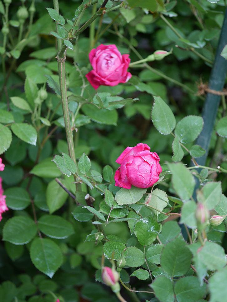 ルイフィリップ(Louis Philippe)の花が増えてきた。木立バラ。2021年-013.jpg