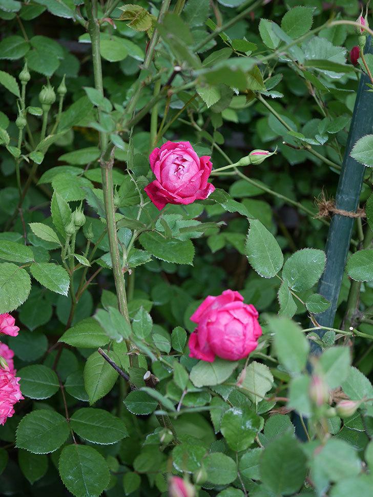ルイフィリップ(Louis Philippe)の花が増えてきた。木立バラ。2021年-014.jpg