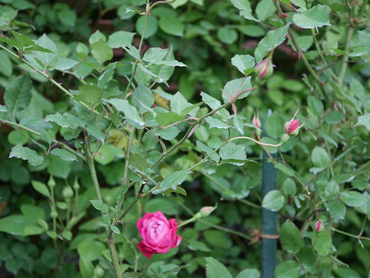 ルイフィリップ(Louis Philippe)の花が増えてきた。木立バラ。2021年-015.jpg