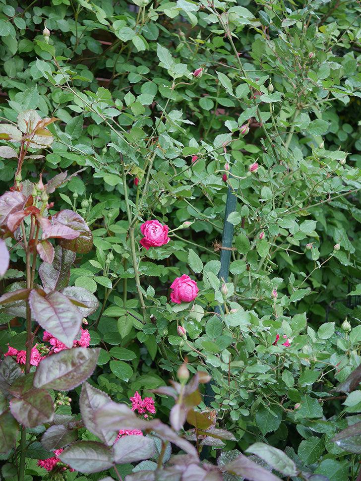 ルイフィリップ(Louis Philippe)の花が増えてきた。木立バラ。2021年-016.jpg