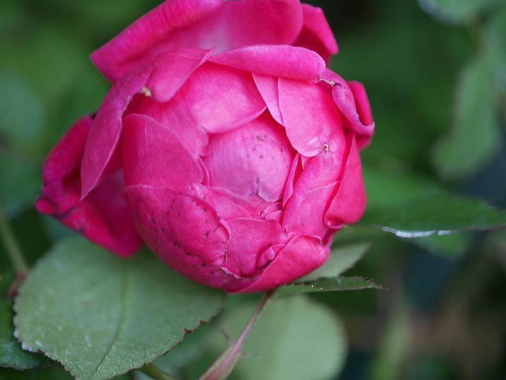 ルイフィリップ(Louis Philippe)の花が増えてきた。木立バラ。2021年-018.jpg