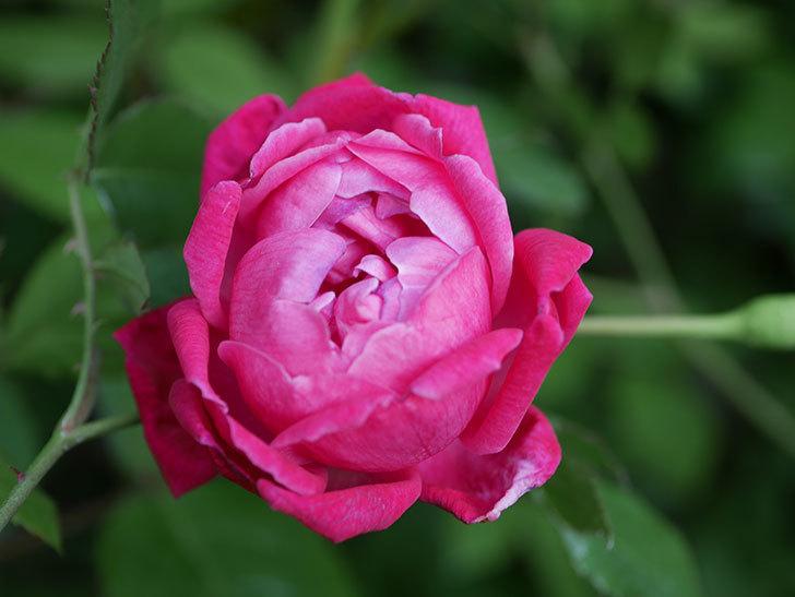 ルイフィリップ(Louis Philippe)の花が増えてきた。木立バラ。2021年-019.jpg