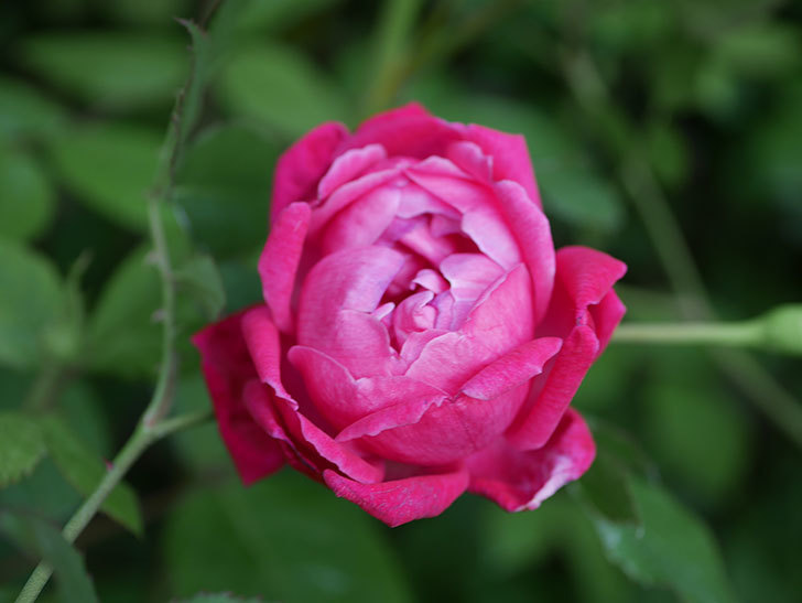 ルイフィリップ(Louis Philippe)の花が増えてきた。木立バラ。2021年-020.jpg