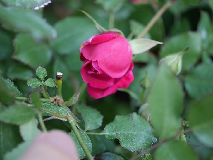 ルイフィリップ(Louis Philippe)の花が増えてきた。木立バラ。2021年-021.jpg