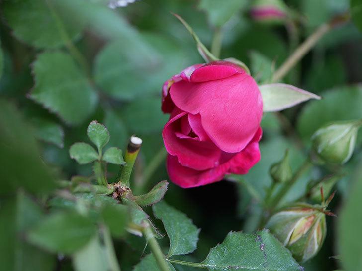 ルイフィリップ(Louis Philippe)の花が増えてきた。木立バラ。2021年-022.jpg