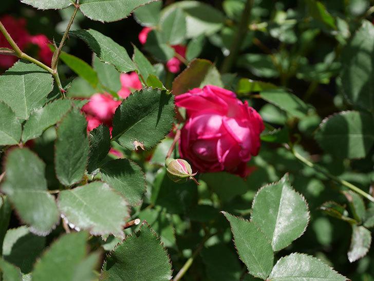 ルイフィリップ(Louis Philippe)の花が増えてきた。木立バラ。2021年-023.jpg
