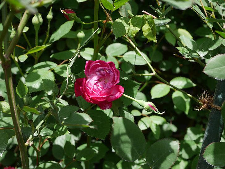 ルイフィリップ(Louis Philippe)の花が増えてきた。木立バラ。2021年-024.jpg