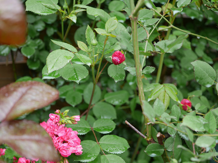 ルイフィリップ(Louis Philippe)の花が少し咲いた。木立バラ。2021年-002.jpg
