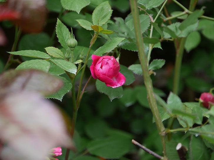 ルイフィリップ(Louis Philippe)の花が少し咲いた。木立バラ。2021年-003.jpg