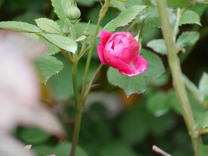 ルイフィリップ(Louis Philippe)の花が少し咲いた。木立バラ。2021年-005.jpg