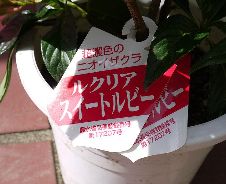 ルクリア(アッサムニオイザクラ)スイートルビーをホームズで買って来た3.jpg