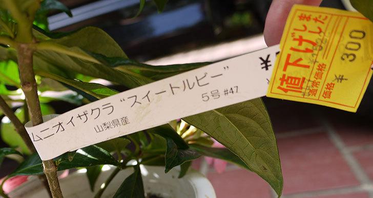 ルクリア(アッサムニオイザクラ)スイートルビーをホームズで買って来た4.jpg
