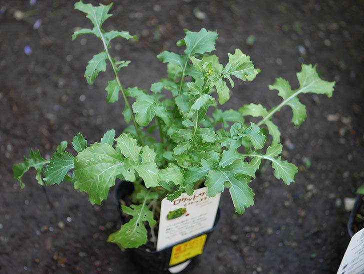 ルッコラの苗がホームズで50円だったので買ってきた。2018年-2.jpg
