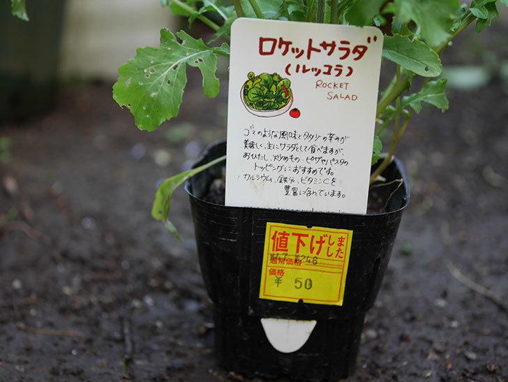 ルッコラの苗がホームズで50円だったので買ってきた。2018年-3.jpg