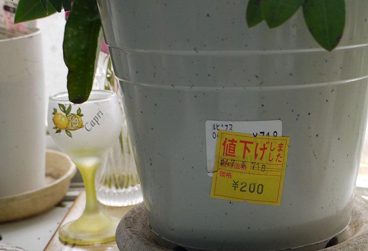 ルピナスがホームズで200円だったの買って来た4.jpg